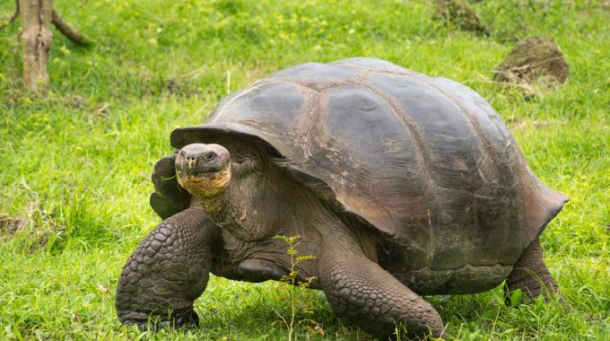 Meet Giant Tortoises