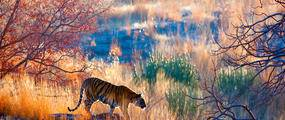 tiger in grass at dawn